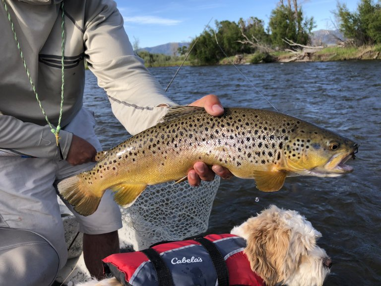 MADISONRIVERBROWNTROUT4