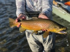 MADISONRIVERBROWNTROUT12