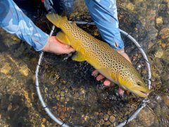 MADISONRIVERBROWNTROUT15